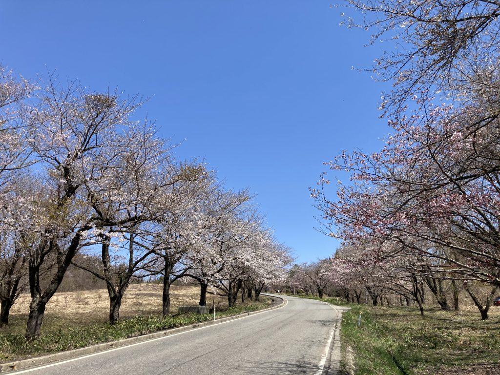 桜のトンネル@水沢温泉郷